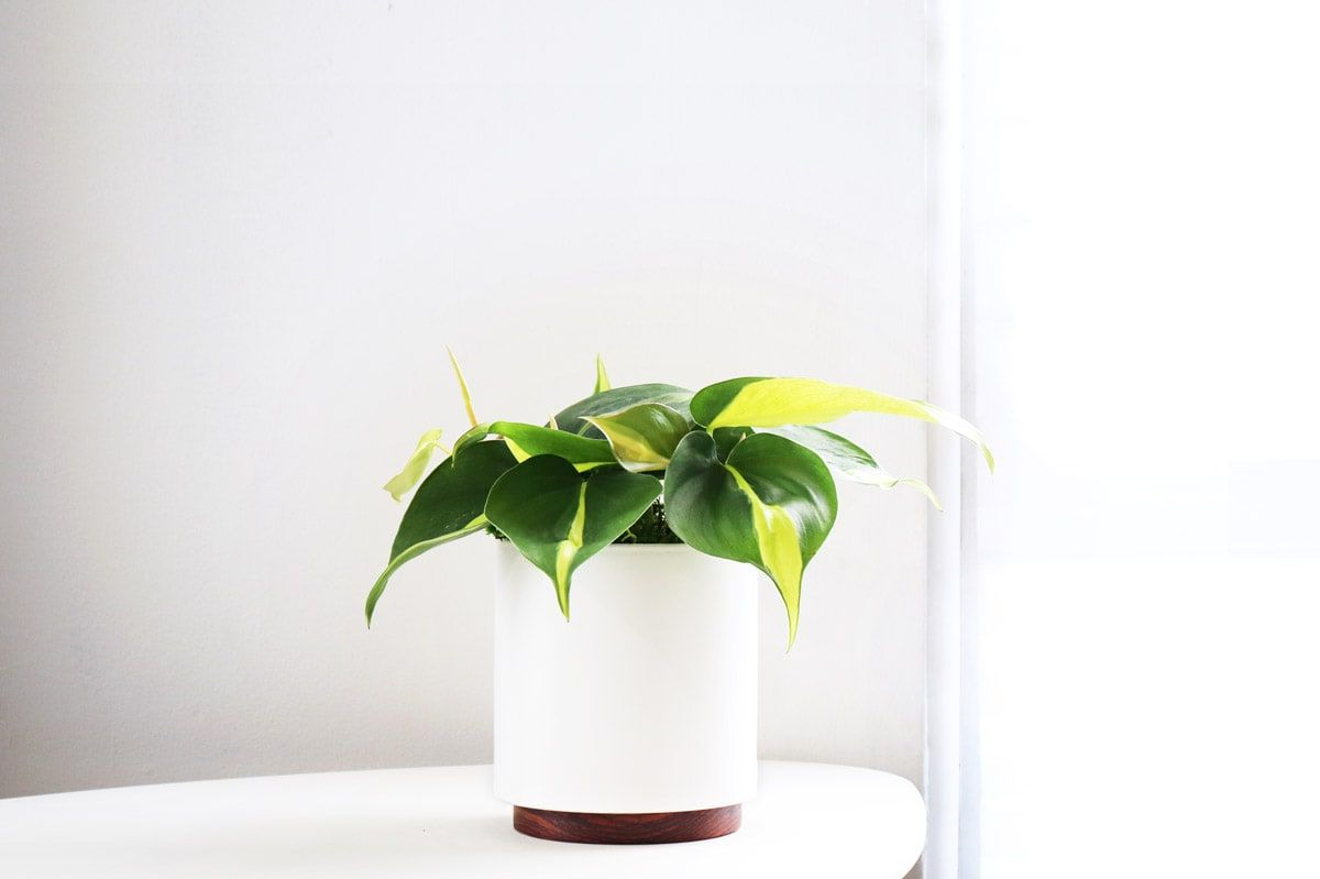 Philodendron Brasil - Philodendron Brasil