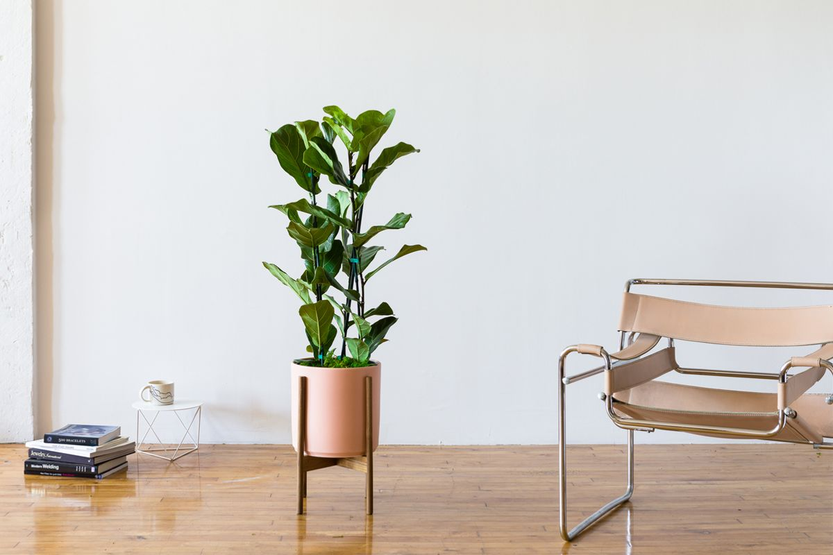 Fiddle Leaf Fig Bush - Fiddle Leaf Fig Bush