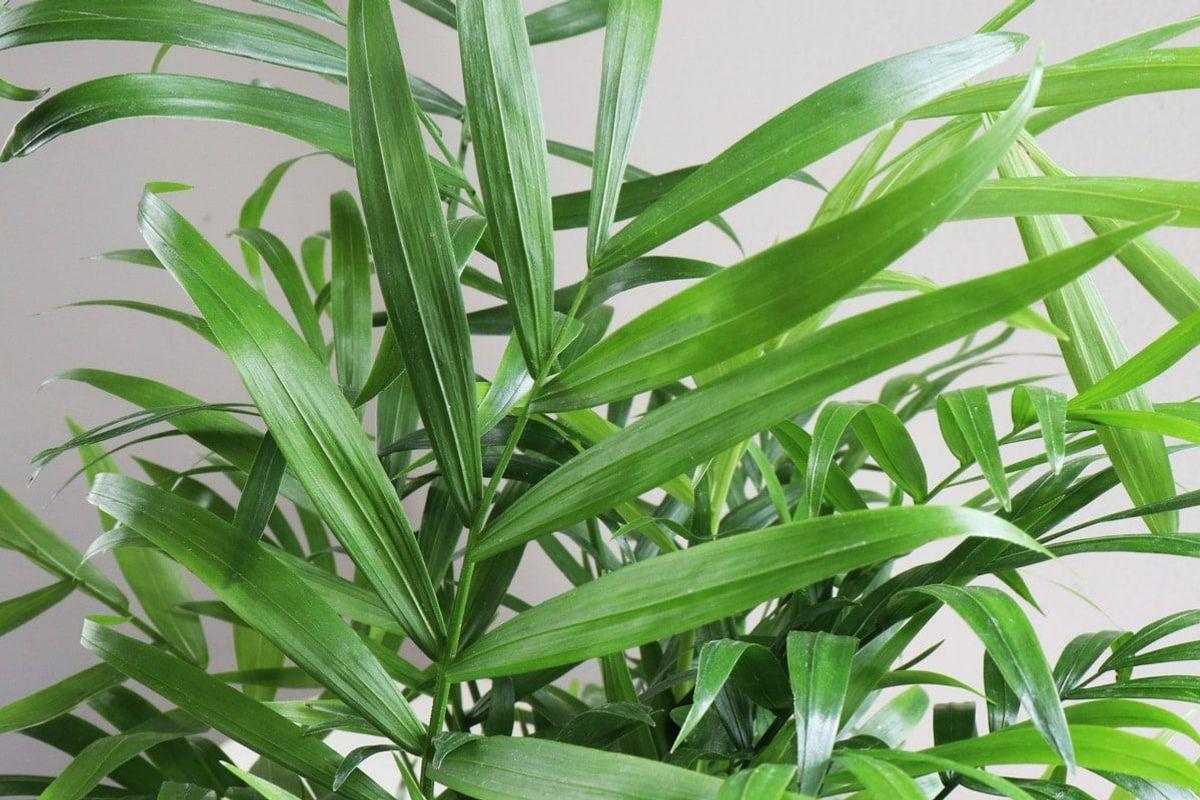Parlor Palm - Scandinavian - Parlor Palm - Scandinavian