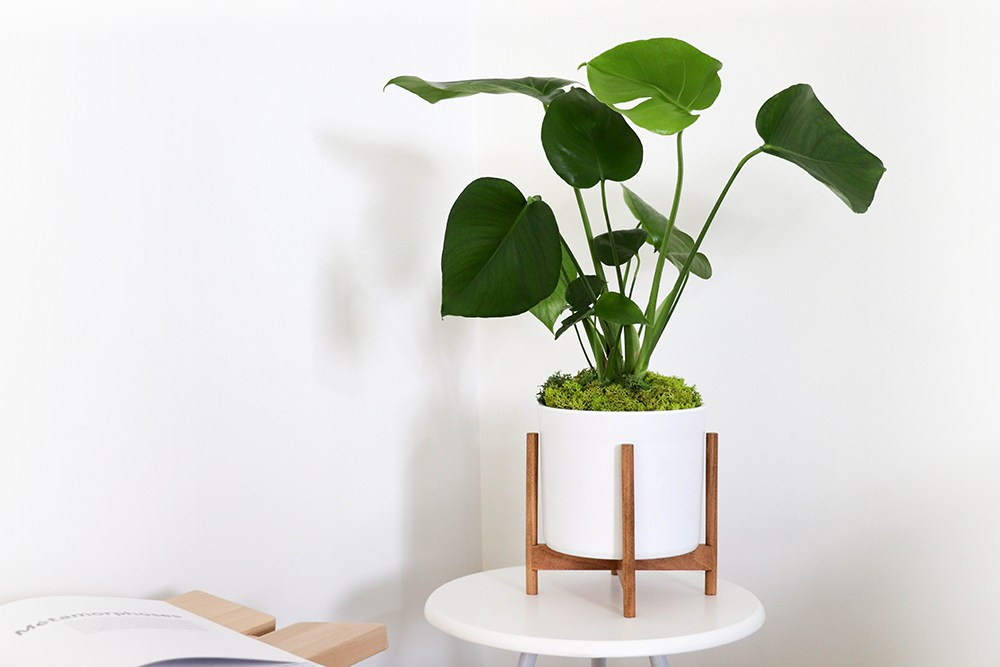 Tabletop Monstera