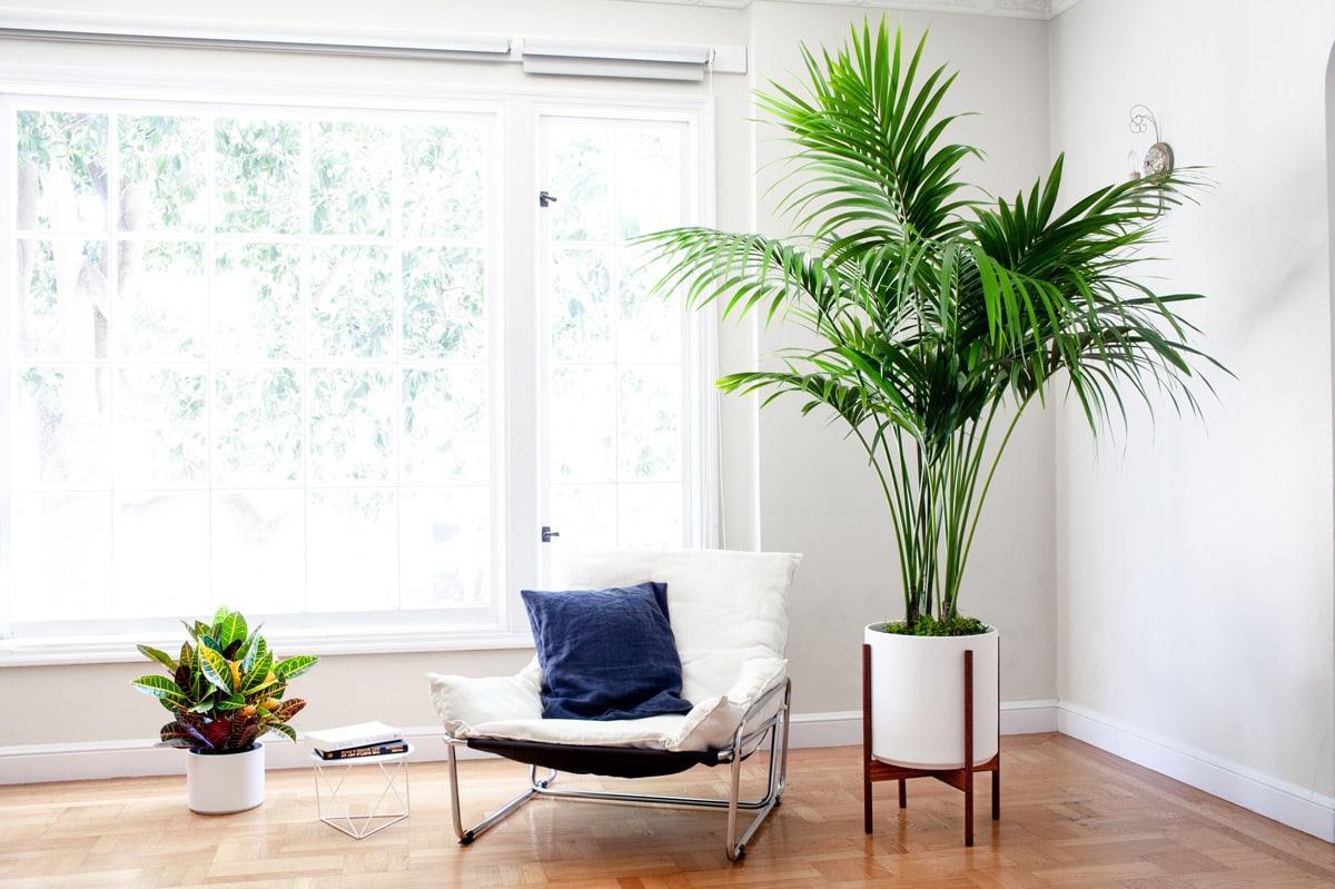 Buy a Kentia Palm (Extra Large) – Léon & George – Premium Online Plant Shop