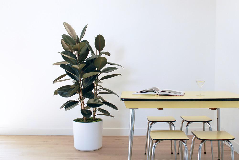 Grand Ficus Elastica - Grand Ficus Elastica