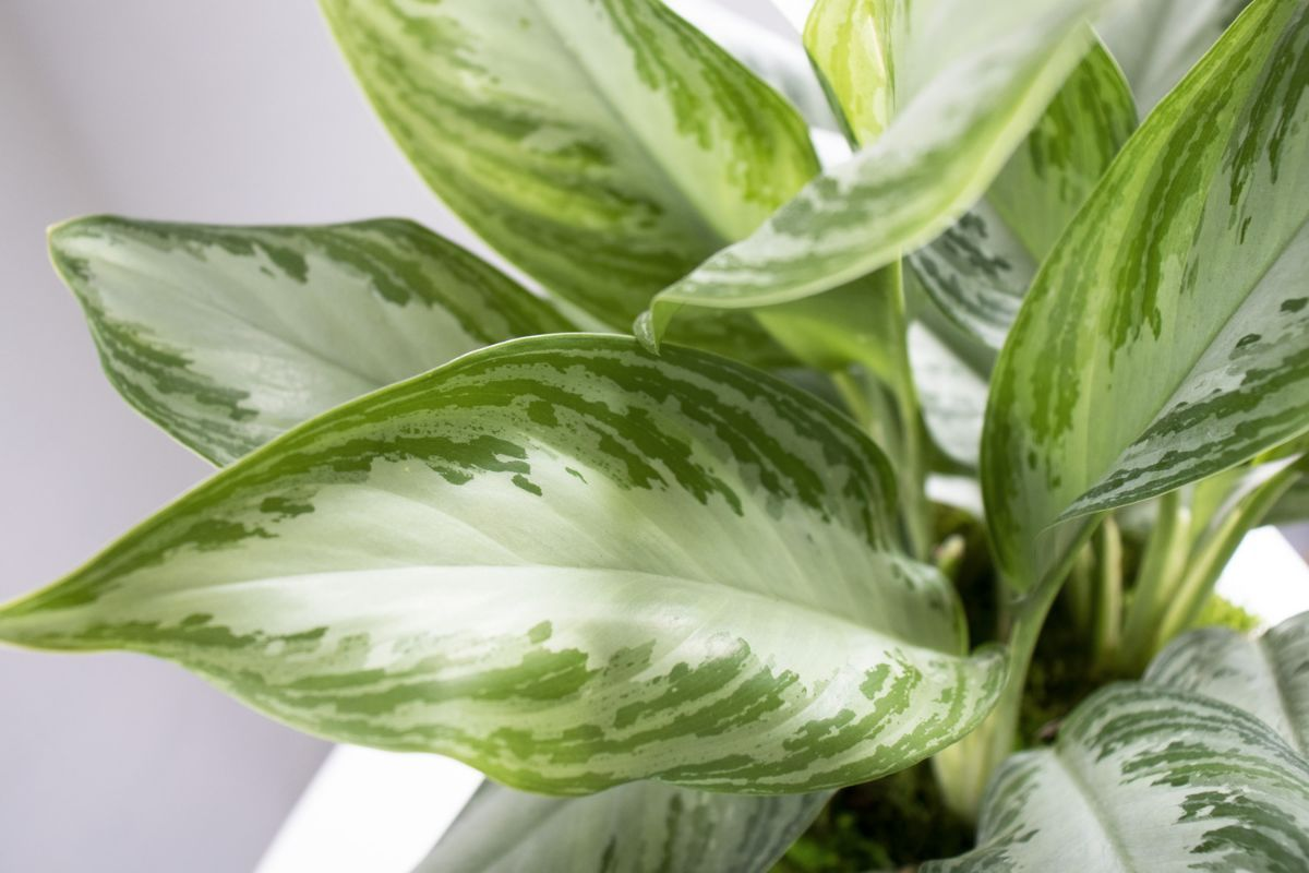 Silver Evergreen - Scandinavian - Silver Evergreen - Scandinavian