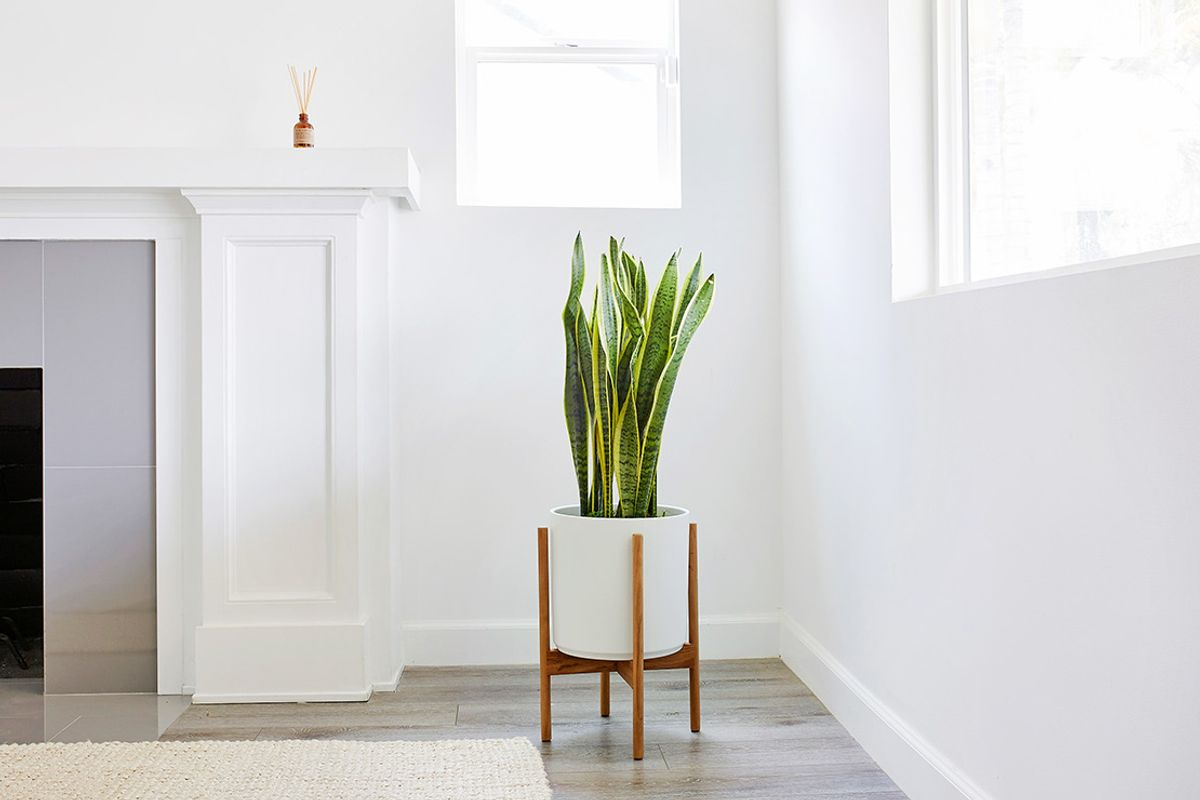 Snake Plant (Large) – Potted Plants, Delivered by Léon & George ...