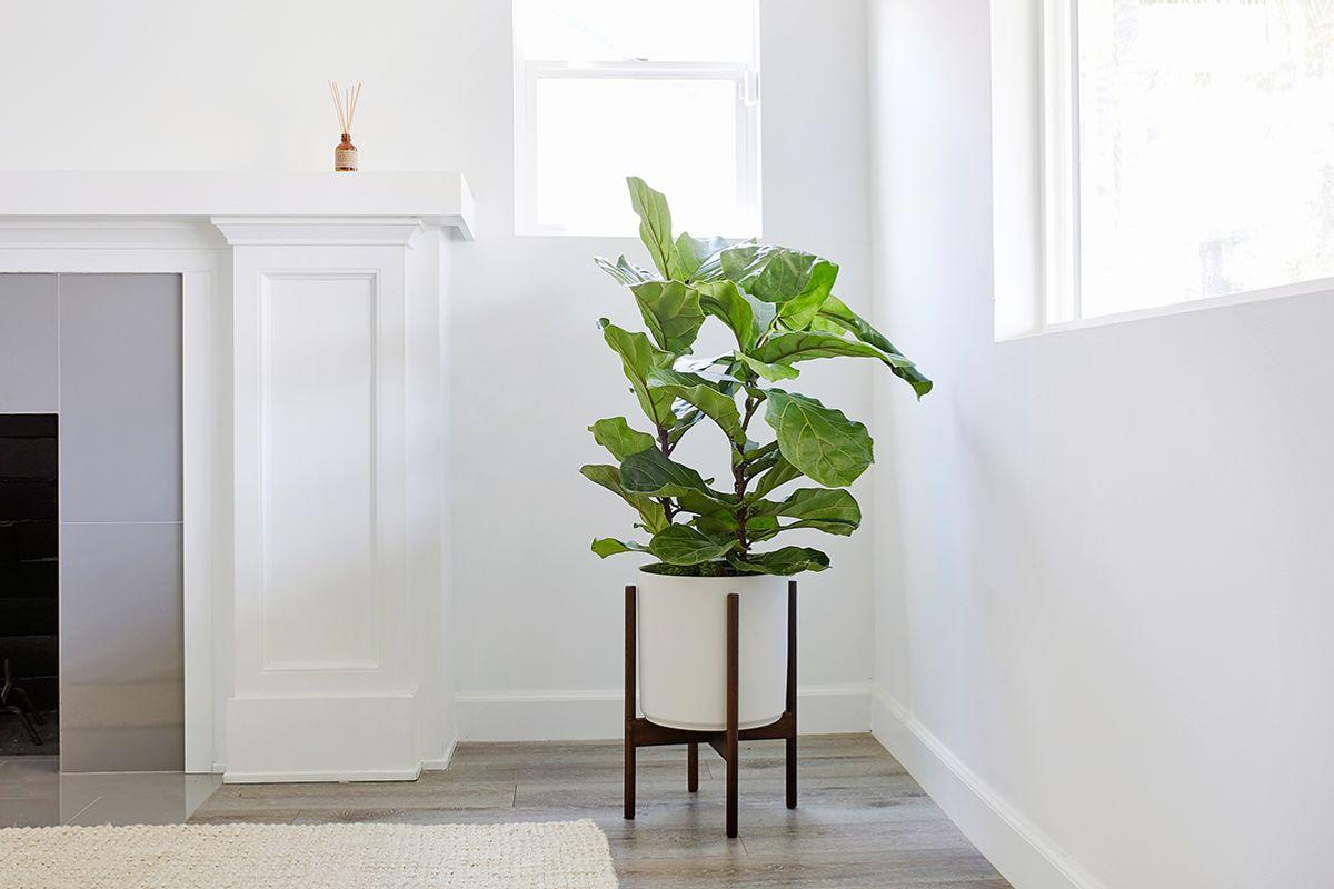 Fiddle Leaf Fig Bush - Fiddle Leaf Fig Bush