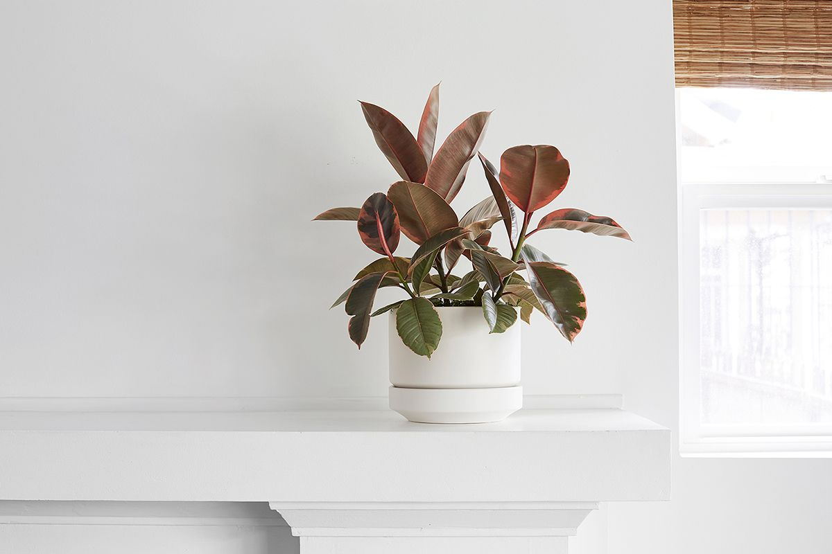 Ruby Ficus  - Scandinavian - Ruby Ficus