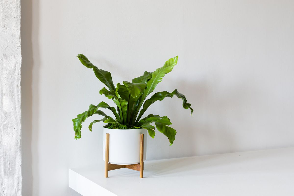 Bird's Nest Fern - Bird's Nest Fern