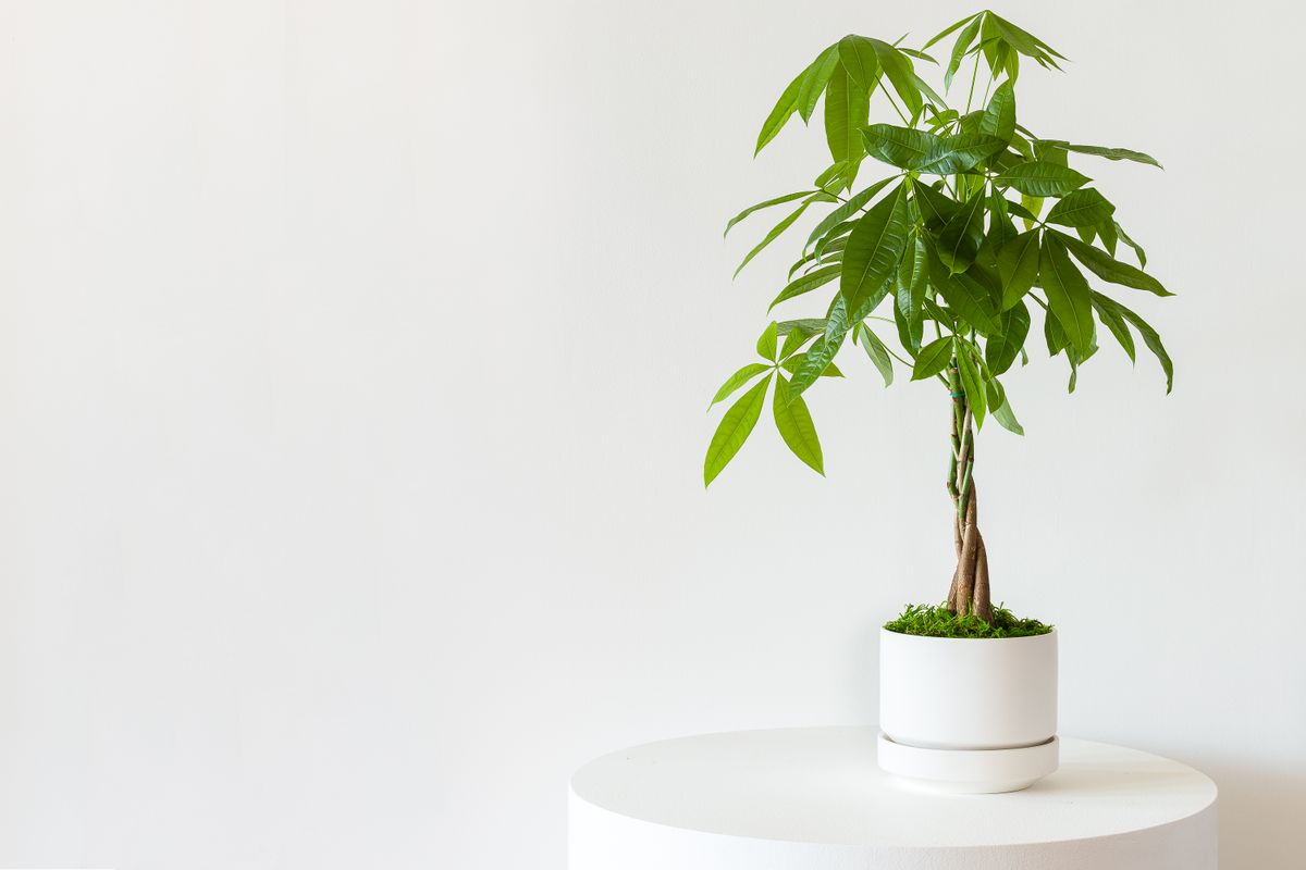 Braided Money Tree - Scandinavian - Braided Money Tree - Scandinavian