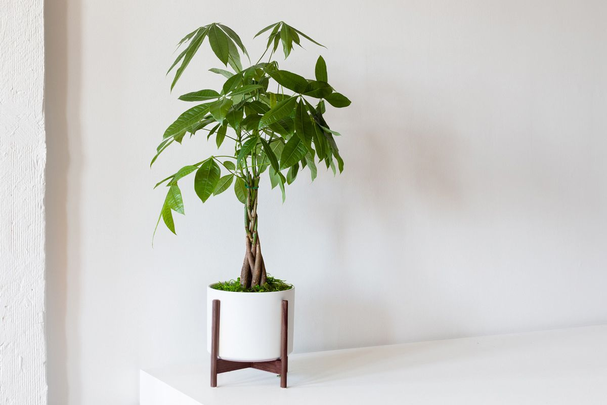 Braided Money Tree - Braided Money Tree