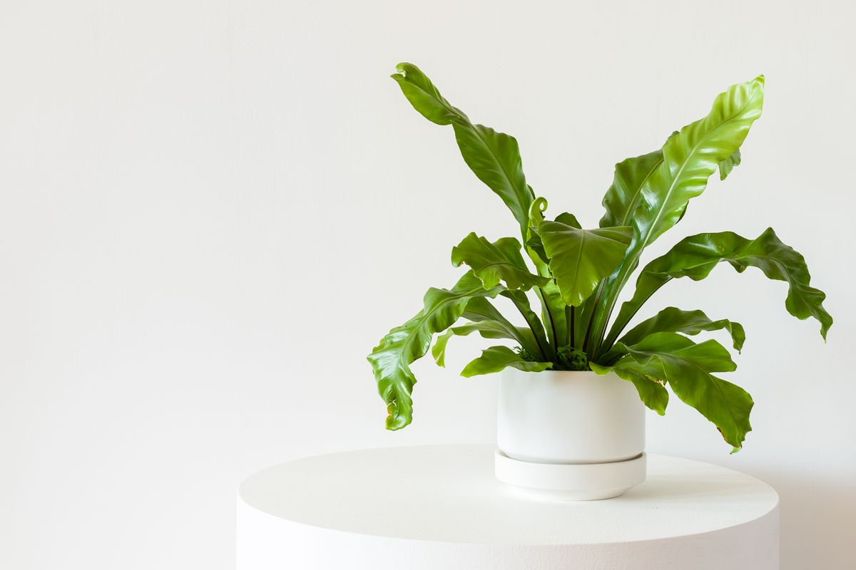 Bird's Nest Fern - Scandinavian - Bird's Nest Fern - Scandinavian