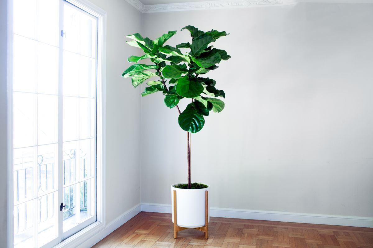 Le 36 - Velvet blanc mid-century Jatoba B