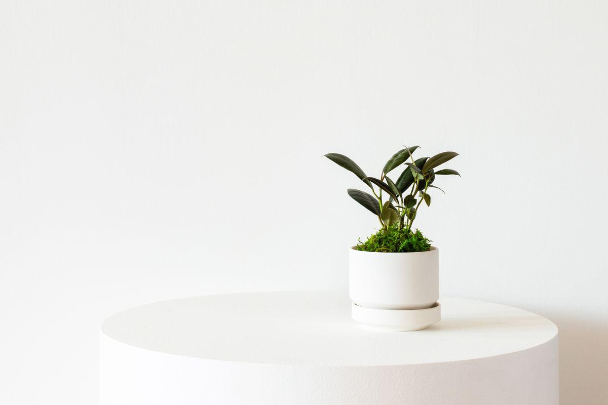 Rubber Plant - Scandinavian - Rubber Plant - Scandinavian