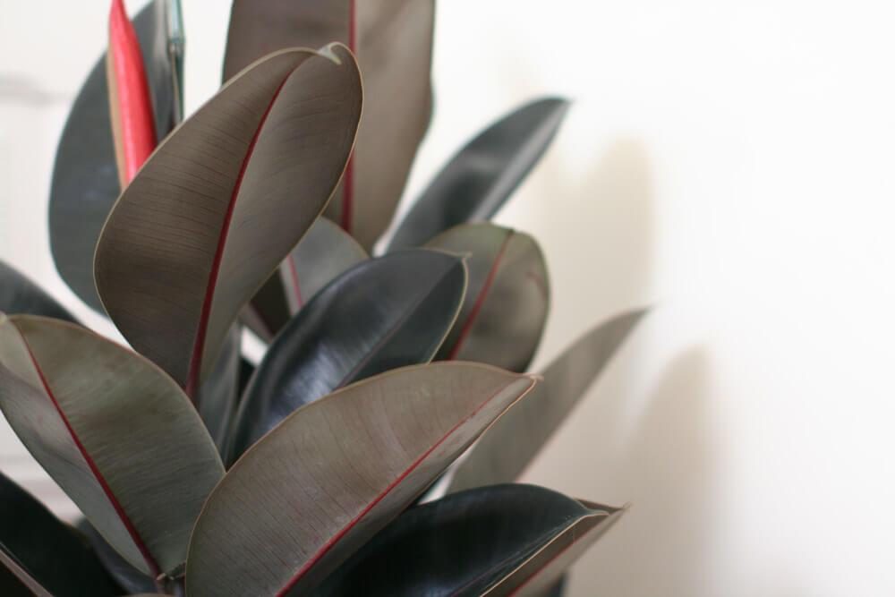 Ficus Elastica Ficus elastica